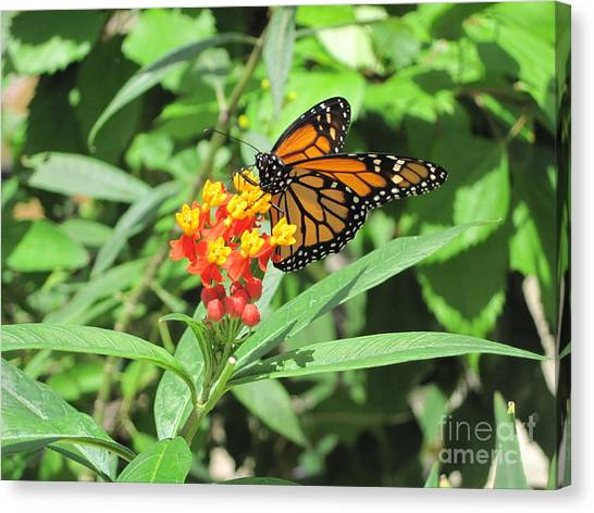 Monarch At Rest Canvas Print