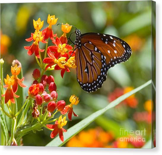 Canvas Print featuring the photograph Monarch  At Work  by Mae Wertz