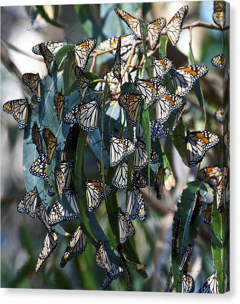 Monarch Butterflies Natural Bridges Canvas Print