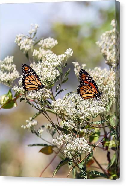 Monarch Butterflies On Milkweed Canvas Print