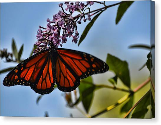 Monarch Butterfly #1 Canvas Print