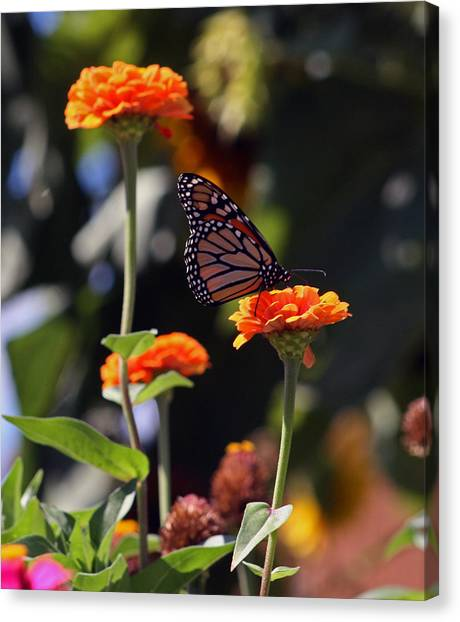 Monarch Butterfly And Orange Zinnias Canvas Print