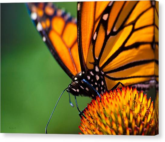 Orange Canvas Print - Monarch Butterfly Headshot by Bob Orsillo