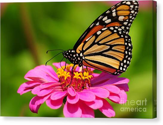Monarch Butterfly On Zinnia Canvas Print