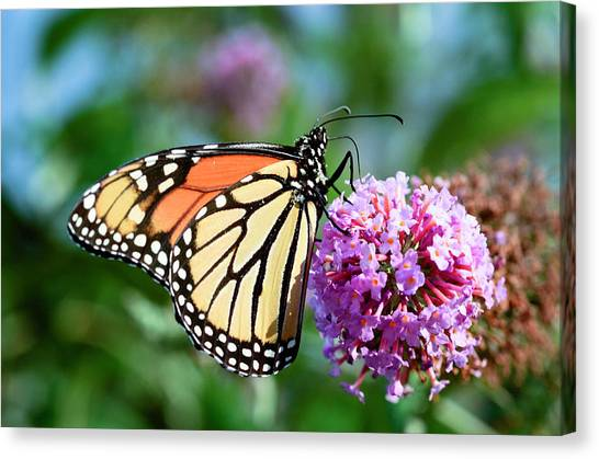 Monarch Butterfly Soaking Up The Sun Canvas Print