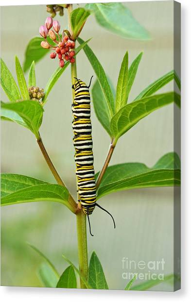 Monarch Caterpillar And Milkweed Canvas Print