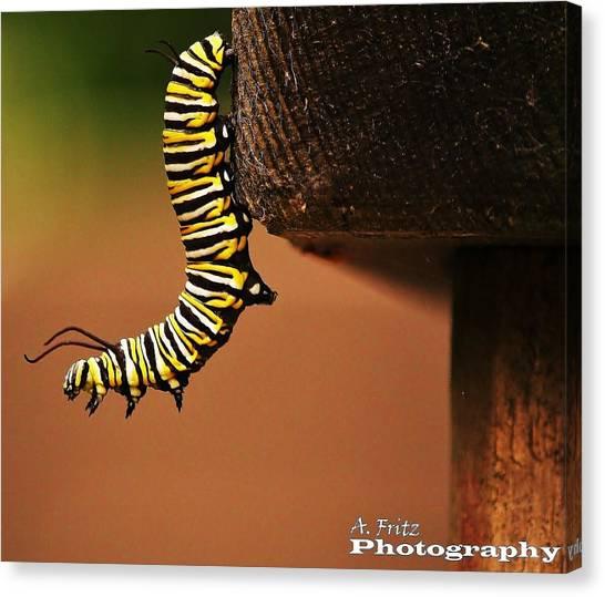 Monarch Caterpiller Canvas Print