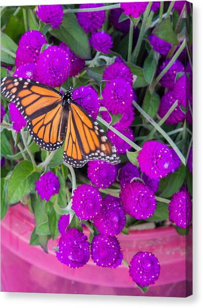 Monarch On Bachelor Buttons Canvas Print