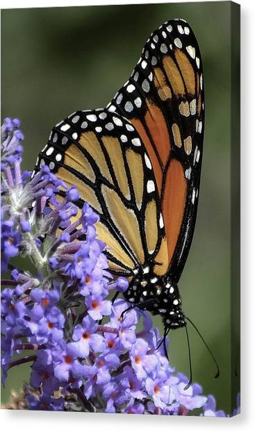 Monarch On Butterfly Bush-edition  3 Of 40 Canvas Print