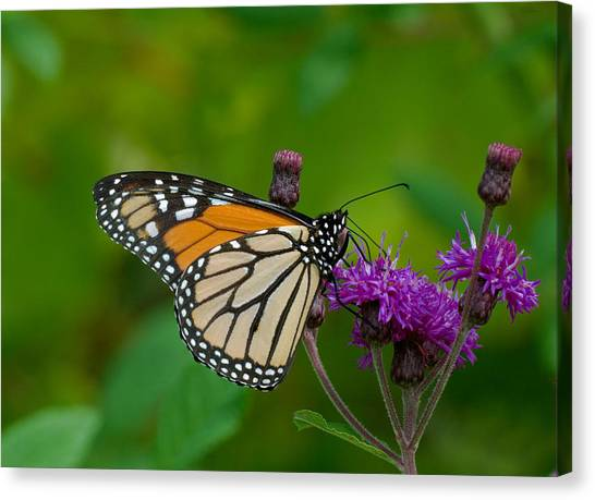 Monarch On Iron Weed Canvas Print