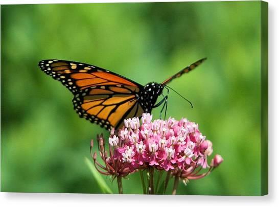 Monarch On Pink Wildflower Canvas Print
