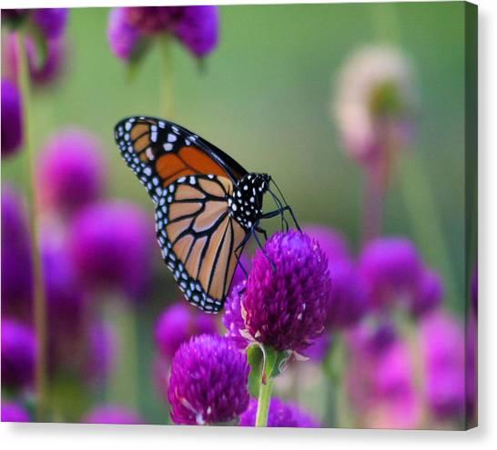 Monarch On Purple Flowers Canvas Print