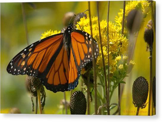 Monarch On Stiff Goldenrod Canvas Print