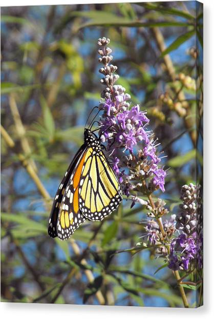 Monarch On Vitex Canvas Print