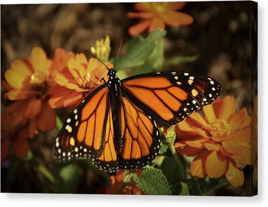 Monarch Spotlight. Canvas Print