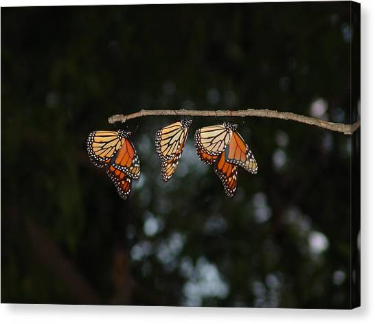Monarch Trio Canvas Print