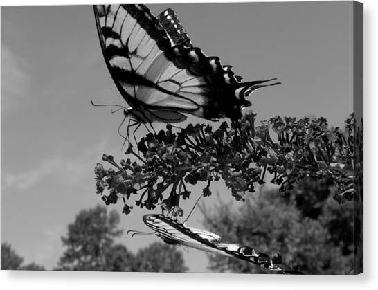 Swallotail In Black And White Canvas Print by Kim Galluzzo Wozniak