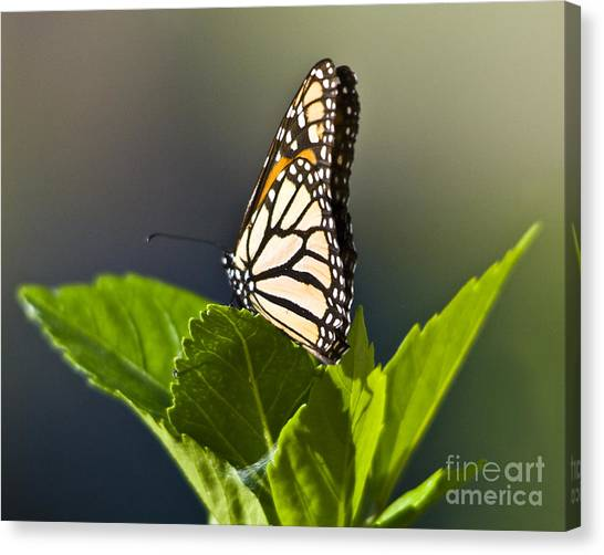 Monark Butterfly No. 2 Canvas Print