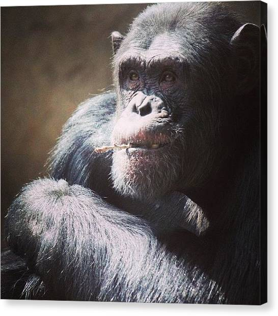 Gorillas Canvas Print - #monkey #gorilla #zoo #hairy #furry by Rebecca Speller