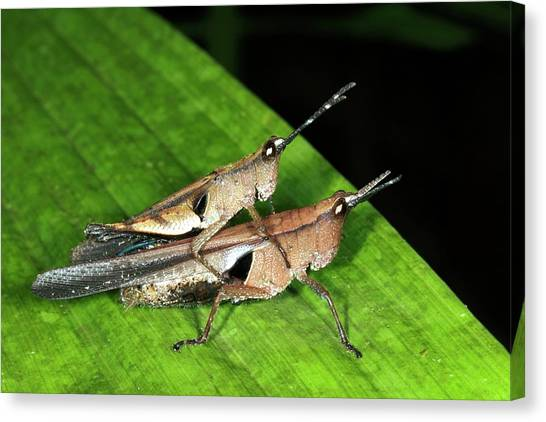Grasshoppers Canvas Print - Monkey Grasshoppers Mating by Dr Morley Read/science Photo Library