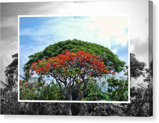 Monkey Pod Trees - Kona Hawaii Canvas Print