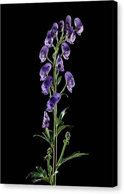 Aconitum napellus $15 christmas gift ideas