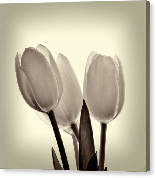 Monochrome Tulips With Vignette Canvas Print