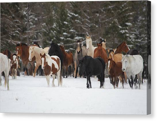 Montana Herd Canvas Print