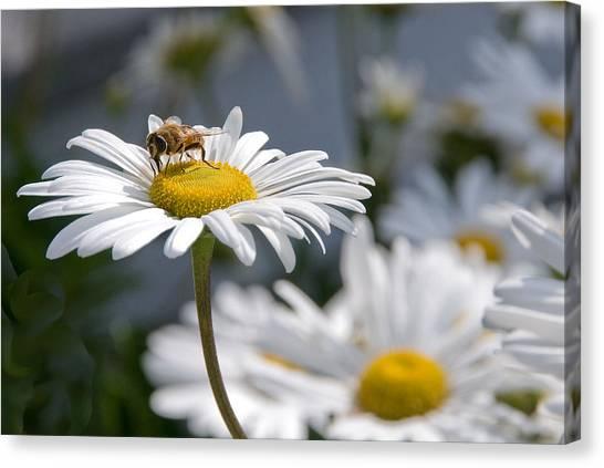 Montauk Daisy With Bee  Canvas Print by Bob Mulligan