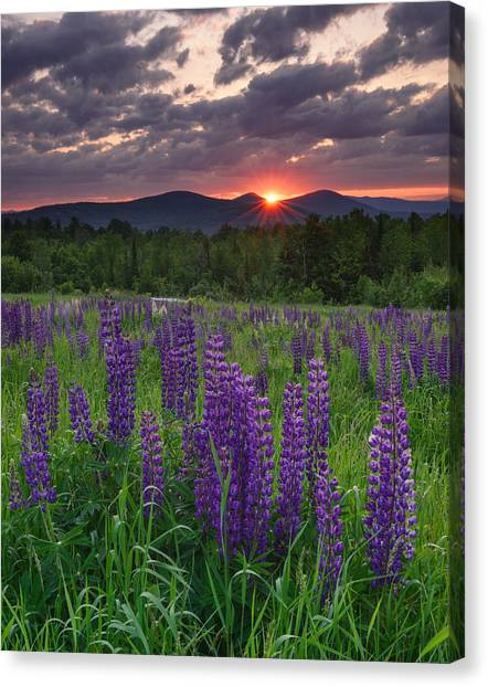 Moody Sunrise Over Lupine Field Canvas Print