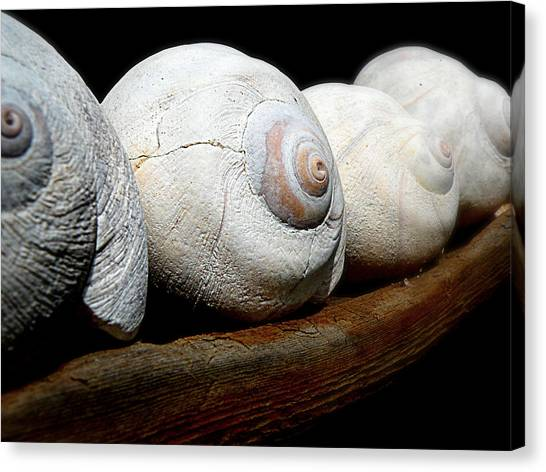 Moon Shells Canvas Print