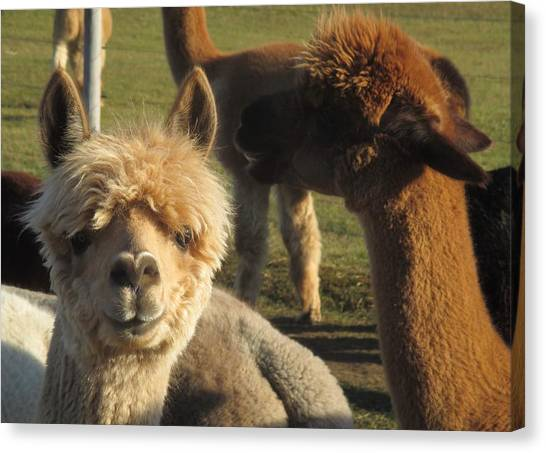 Moonacre Alpacas 2 Canvas Print