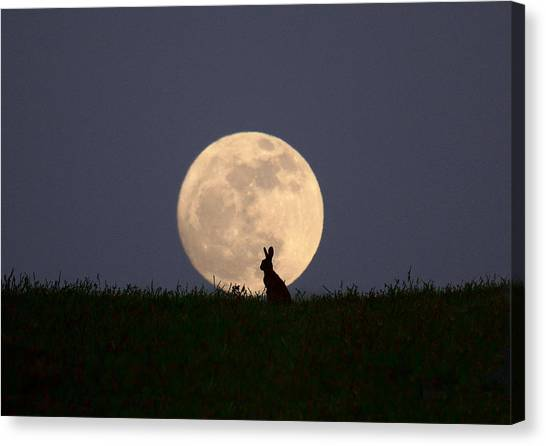 March Hare Canvas Print - Moongazer by Steve Adams