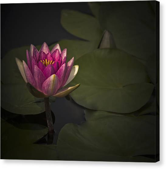 Moonlit Waterlily Canvas Print by Jill Balsam
