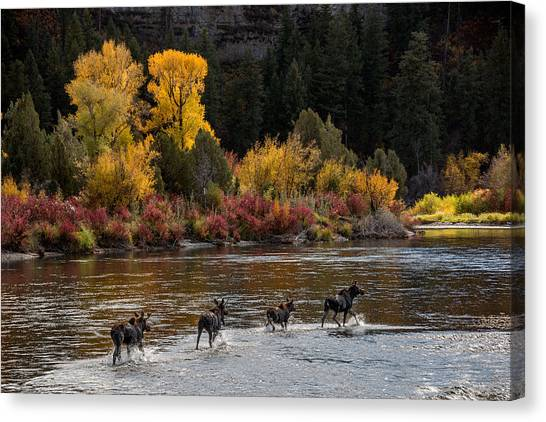 Moose Crossing Canvas Print