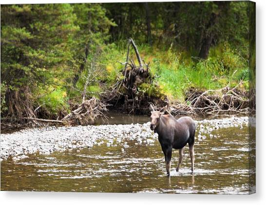 Moose In Yellowstone National Park   Canvas Print