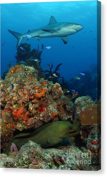 Tiger Sharks Canvas Print - Moray Reef by Carey Chen