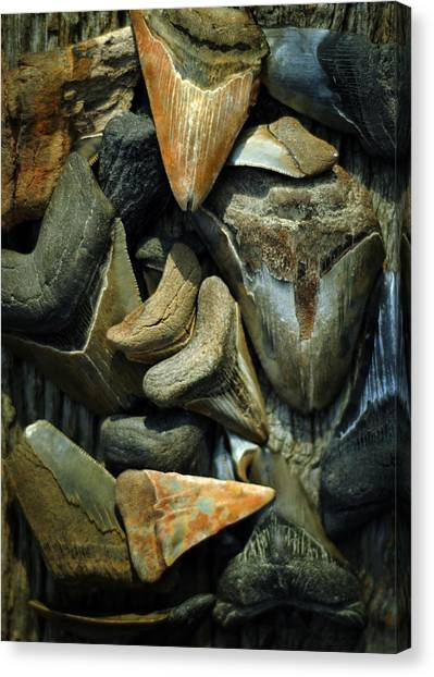 More Megalodon Teeth Canvas Print