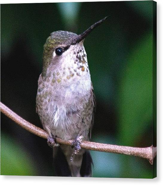Hummingbirds Canvas Print - More Of The Baby Anna's Cutie ☺️ by Patty Warwick