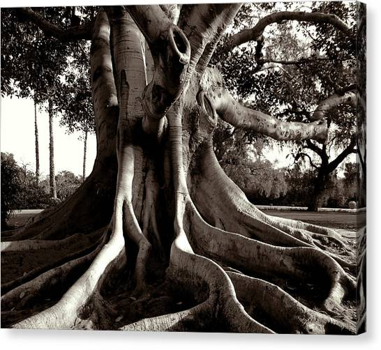 Moreton Bay Fig Canvas Print