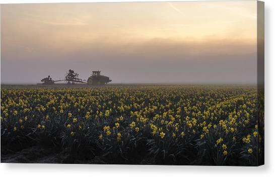 Morning Daffodil Fog Canvas Print