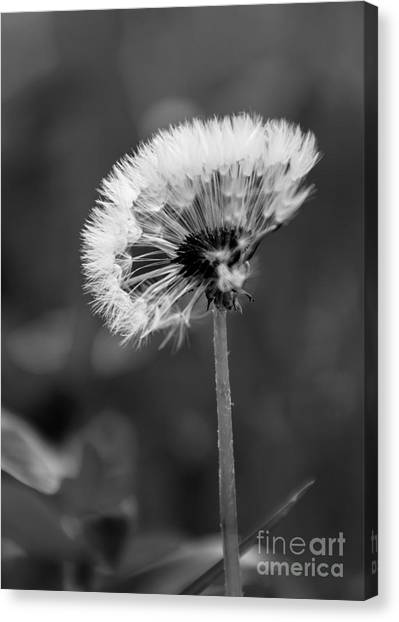 Morning Dandelion Canvas Print