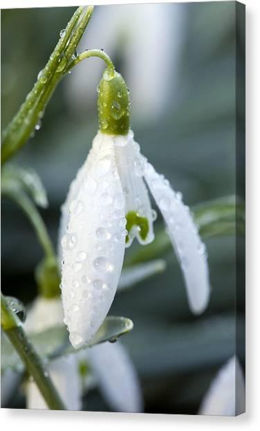 Morning Dew On Snowdrop Canvas Print