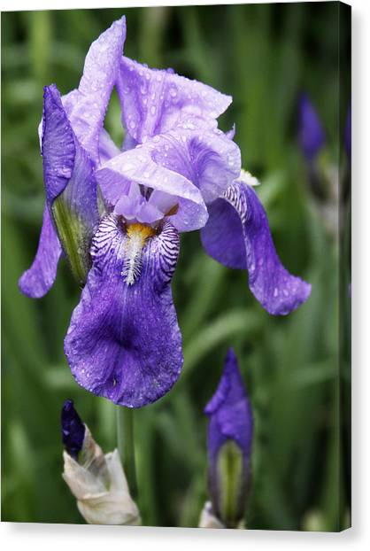 Morning Dew On The Iris Canvas Print