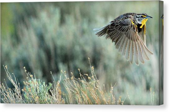 Meadowlarks Canvas Print - Morning Flight.. by Al  Swasey