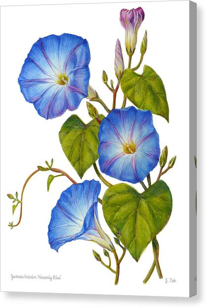 Morning Glories - Ipomoea Tricolor Heavenly Blue Canvas Print