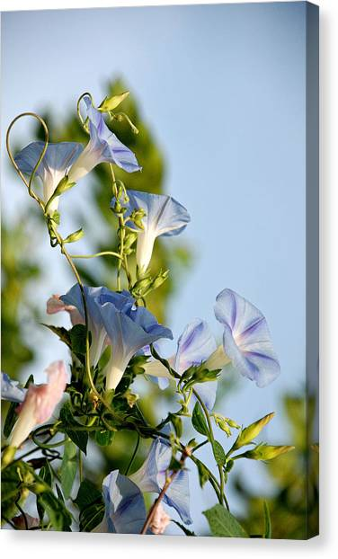 Morning Glories Canvas Print