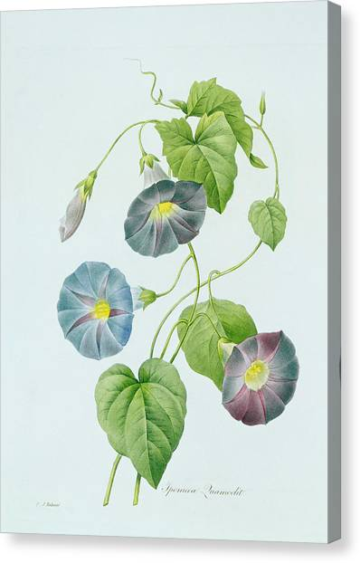 Blending Canvas Print - Morning Glory by Pierre Joseph Redoute