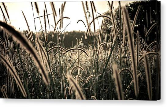 Morning Grasses  Canvas Print