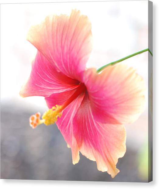 Morning Hibiscus In Gentle Light - Square Macro Canvas Print